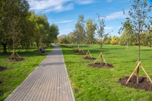 Young trees planted in the park along the paths for walking